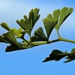 Ginkgobaum (Luise, pixelio)