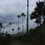 Vorbei an riesigen Wachspalmen geht es zum Acaime - Reiseberichte Kolumbien